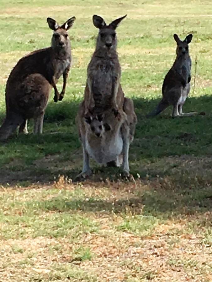 Kangaroo Family (2)